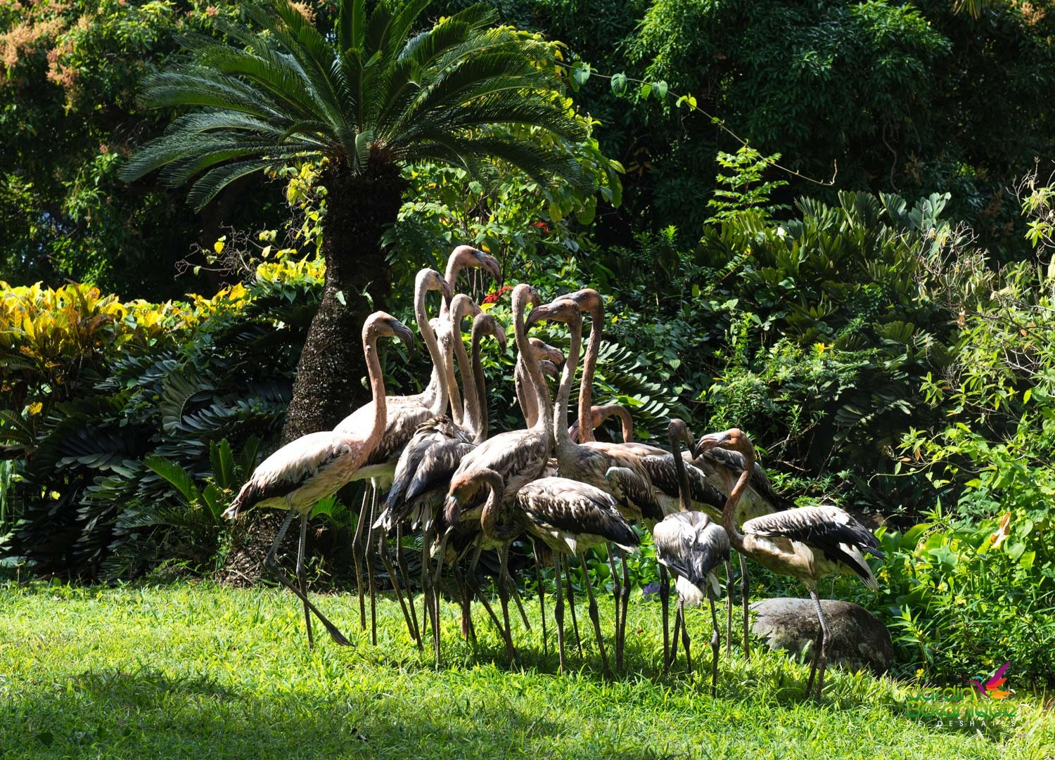 flamants roses jardin botanique deshaies jardin botanique deshaies. Black Bedroom Furniture Sets. Home Design Ideas